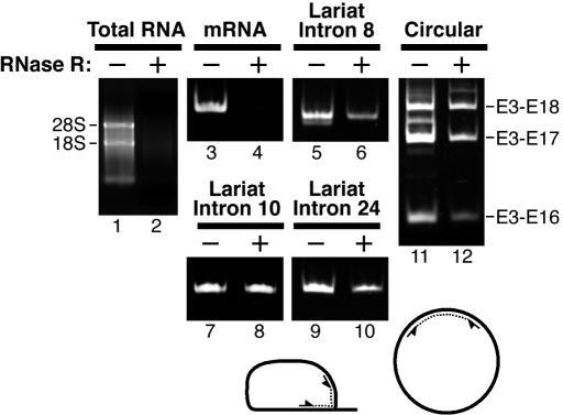 rt–pcr detection of mrna, intact lariat introns, and | open-i, Muscles