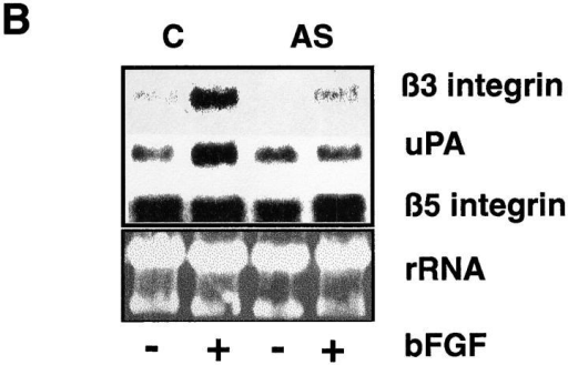 Hox D3 mediates bFGF-induced expression of β3 integrin and uPA. (A) RT-PCR of 1 μg total RNA from HUVEC 24 h after  treatment with 20 ng/ml bFGF (+bFGF) using primers for Hox D3 or GAPDH. (B) Northern blot analysis of β3 integrin, β5 integrin,  and uPA mRNA levels in HUVEC transfected with control plasmid (C) or antisense against Hox D3 (AS) after 24 h with (+) or without (−) addition of 20 ng/ml bFGF. (C) Western blot of cyclin D1 in immortalized HUVEC transfected with control or antisense against  Hox D3. After 24 h in serum-free M199, samples were collected at 2, 4, and 8 h after addition of 20 ng/ml bFGF. 10 μg total cell lysate  from each time point was separated on 12% SDS-PAGE, transferred to nylon membranes, and probed with a polyclonal antibody  against human cyclin D1.