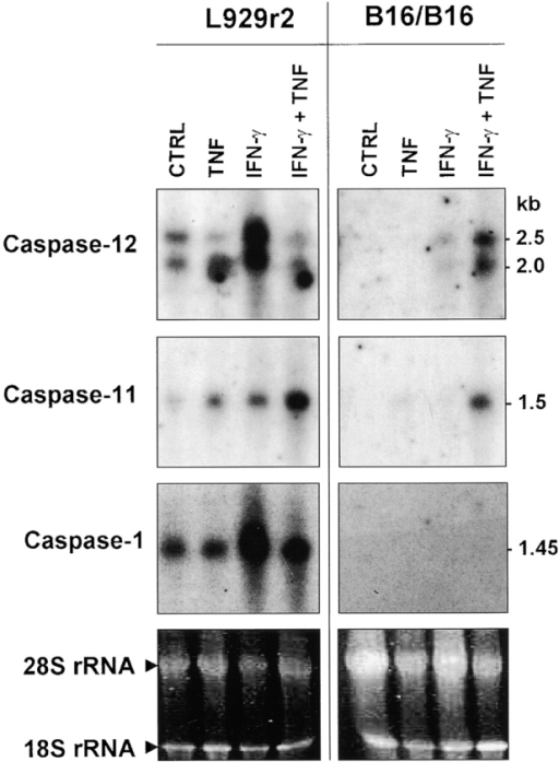 Effect of IFN-γ and TNF on the expression of the mRNAs of the mouse inflammatory caspase subfamily in L929r2 fibrosarcoma and B16/B16 melanoma cells. Cells were treated or not with IFN-γ (1,000 U/ml) or TNF (5,000 U/ml) alone or in combination. The next day, mRNA was extracted and analyzed by Northern blotting using specific probes. The size of the hybridizing bands is indicated in kb. UV imaging of ethidium bromide intercalated in the 18S and 28S rRNAs was used to monitor loading of the gels (bottom).