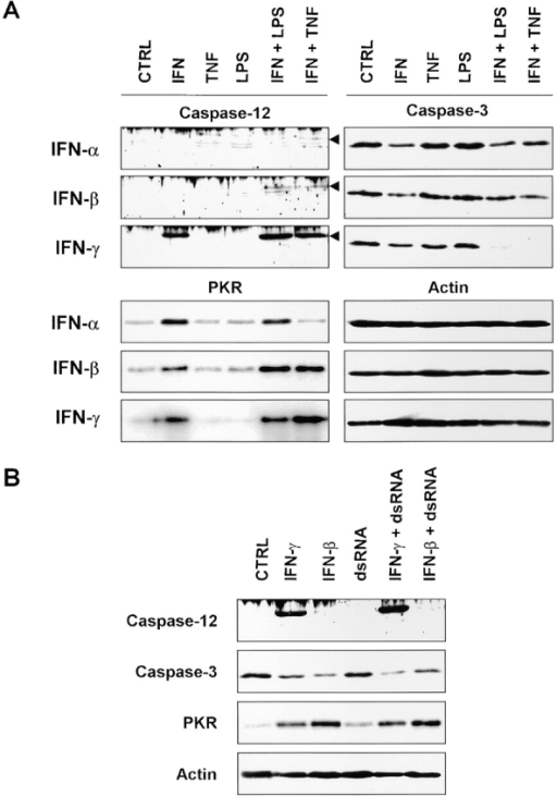 Comparison of the effect of type I and type II IFNs on the expression of caspase-12 and -3 by B16/B16 cells. (A) Western blot analysis of cells treated for 24 h with IFN-α, -β, or -γ (1,000 IU/ml) in the presence or absence of TNF (5,000 IU/ml) or LPS (1 μg/ml). (B) Western blot analysis of cells treated for 24 h with IFN-β or -γ (1,000 IU/ml) in the presence or absence of dsRNA (100 μg/ml). The IFN-inducible kinase PKR was used as a positive control for responsiveness to the different IFNs. An anti–β-actin antibody was used to verify that equal amounts of protein were loaded.