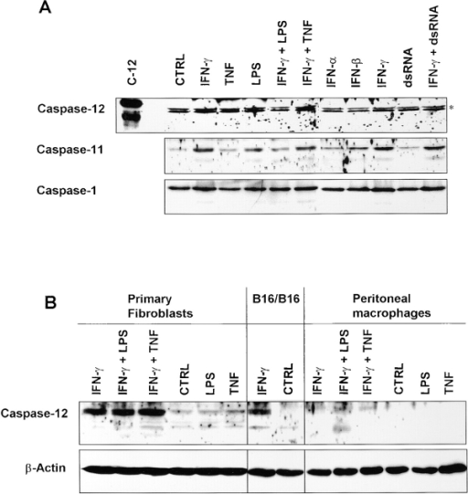 Analysis of the expression of caspase-12 in macrophages and primary fibroblasts. (A) Western blot analysis of Mf4/4 macrophages treated for 24 h with IFN-α, -β or, -γ (1,000 IU/ml) in the presence or absence of TNF (5,000 IU/ml), LPS (1 μg/ml), or dsRNA (50 μg/ml). C-12 indicates a lysate of HEK293T cells overexpressing caspase-12, used as a positive control. *, nonspecific bands. (B) Western blot analysis of primary fibroblasts and peritoneal macrophages treated for 24 h with IFN-γ (1,000 IU/ml) in the presence or absence of TNF (5,000 IU/ml) or LPS (1 μg/ml). B16/B16 cells treated or not with IFN-γ (1,000 IU/ml) were used as a positive control. An anti–β-actin antibody was used to verify that equal amounts of protein were loaded.