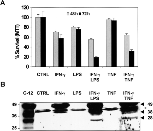 Caspase-12 is processed in B16/B16 cells dying from the combination of IFN-γ with either LPS or TNF. (A) Analysis of the cytotoxic potential of IFN-γ, TNF, or LPS. Cells were treated with IFN-γ (1,000 U/ml), TNF (5,000 U/ml), or LPS (1 μg/ml) alone or in combinations. Cell viability was measured at the indicated time using MTT. CTRL indicates untreated controls. Error bars, standard deviation of six replicates of a representative experiment. (B) Western blot analysis of cells treated for 48 h with IFN-γ (1,000 U/ml), TNF (5,000 U/ml), or LPS (1 μg/ml) alone or in combinations. C-12 indicates lysate of HEK293T cells overexpressing caspase-12, used as a positive control. Arrows indicate bands corresponding to the 49-kD full-length pro–caspase-12 and to the 38- and 28-kD fragments of the processed caspase. *, nonspecific bands.