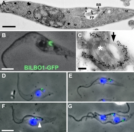 BILBO1 Localisation and FPC Biogenesis(A) A thin-section electron micrograph of a T. brucei PF cell. The image shows the structural characteristics of a 1K1N cell. Note; only trans-Golgi vesicles are observed, as the Golgi itself is not in the plane of the section. Asterisk (*) denotes the flagellum transition zone. Scale bar indicates 1 μm. A. axoneme; BB, basal body; G, Golgi; K, kinetoplast; M, mitochondria; N, nucleus.(B) Phase/fluorescence-micrograph of a procyclic cytoskeleton expressing BILBO1-eGFP. BILBO1-eGFP protein localises to the FPC. Scale bar indicates 2.5 μm.(C) Electron micrograph of a thin-sectioned WT cytoskeleton probed with anti-BILBO1 antiserum, followed by immunogold labelling. This illustrates the precise location of BILBO1 on the FPC. Asterisk (*) denotes the flagellum transition zone. Arrow denotes an unlabelled portion of the FPC. Scale bar indicates 100 nm.(D–G) Immunofluorescence of cytoskeletons probed with anti-BILBO1 antibody and counterstained with DAPI showing the FPC label and the duplication-segregation of the FPC during the cell cycle. Arrowhead in (F) denotes the kinetoplast, which has not completed S phase, and illustrates that the FPC is duplicated prior to kinetoplast S phase completion. Scale bar in (D–G) indicates 5 μm.