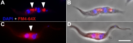 No Endocytotic Activity Is Associated with the New FlagellumA 2K2N WT cell (A and B) and a BILBO1 RNAi-induced cell for 36 h (C and D) were labelled with DAPI (blue) and the red fluorescent lipophilic dye FM4-64X (red). Arrowheads in (A) denote areas of endocytotic activity associated with both FPs of this cell. In (C), a large area of endocytotic activity, in the region of the old FP, is labelled, but no activity is associated with the new flagellum at the posterior end of the cell. (B and D) are DAPI-phase-fluorescence merged images of (A and C). Scale bar indicates 5 μm.