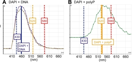 Emission spectra of DAPI-DNA and DAPI-polyP.(A) Emission spectra of DAPI-DNA obtained from murine brain section. Note position of maximum intensity at 460 nm, intensity at 430 nm, and intensity at 520 nm. The intensity at 430 nm is used as a proxy for the contribution of the DAPI-DNA curve to the convoluted DAPI-DNA-polyP spectra. (B) Emission spectrum of DAPI-polyP obtained from synthetic polyP. Note position of maximum intensity near 520 nm and minimal intensity at 430 nm. The intensity at 520 nm is used as a proxy for the contribution of the polyP to the convoluted DAPI-DNA-polyP spectra in bone sections. Fluorescence above 580 nm is exclusively due to DAPI-polyP emission and was used for imaging purposes in Figures 2 and 5.