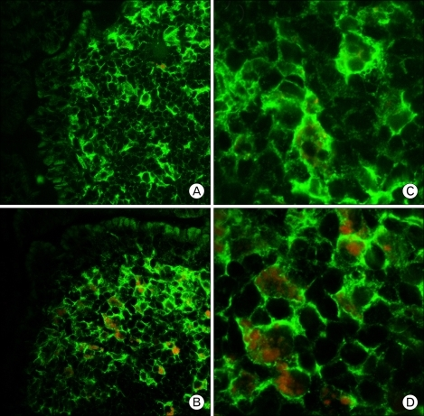 Localization of CCL3 in the Peyer's patches. Frozen sections of Peyer's patches were doubly stained with antibodies against CD11c (green) in combination with anti-CCL3 (red). Panels (A) and (C) display the controls, and panels (B) and (D) display the ginsan treatment. (A, B ×600; C, D ×1,800).
