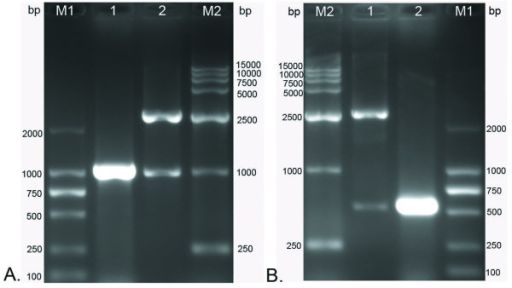 The construction of cloning plasmids were identified by colony PCR and restriction enzymes (HindIII and XhoI) digestion. M1, DNA marker-DL2000; M2, DNA marker-DL15000. A. Identification of cloning plasmid pMD18-T/fgK. Lane 1, product of the colony PCR; Lane 2, two fragments after digestion of the recombinant DNA with restriction enzymes HindIII and XhoI. B. Identification of cloning plasmid pMD18-T/tgK. Lane 1, two fragments after digestion of the recombinant DNA with restriction enzymes HindIII and XhoI; Lane 2, product of the colony PCR.