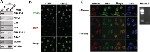 Characterization of the molecular determinants underlying WDHD1′s centromeric localization. (A) WDHD1 was isolated from NIH-3T3 cell lysates by immunoprecipitation (IP) using α-WDHD1 antibody. Western blot analysis was subsequently performed with antibodies against selected components of the DNA replication and RNA transcription complexes, as indicated. IgG refers to control rabbit or mouse Ab IP using whole cell lysates derived from the same cells. Input equals 1/10 of IP. (B and C) Indirect immunofluorescence analysis was performed to observe localization of endogenous WDHD1 (red) and HP1α (green) in the inhibitor-treated NIH-3T3 cells. (B) Before immunostaining, cells arrested at the G1/S junction were released in the presence of 100 µM DRB for 2 h to inhibit Pol II activity (+DRB) or in its absence (−DRB) and subsequently pulse-labeled with BrdU. Nuclear DNA was stained by DAPI (blue). Images were captured by laser scanning confocal microscopy and single sections are shown (scale bar is 10 µm). (C) NIH-3T3 cells grown on coverslips were first permeablized, and subsequently mock- (−) or RNase A- (+) treated before fixation. Immunostaining were performed with antibodies specific for WDHD1 (red) and HP1α (green). Nuclear DNA was stained by DAPI (blue). Confocal microscopy was done as above (scale bar is 10 µm). Removal of RNA was monitored by gel electrophoresis of total RNA extracted from the cells, as shown by the EtBr staining image (right).