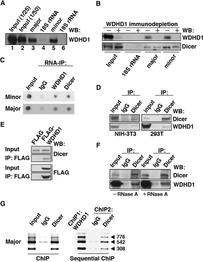 WDHD1 associates with the centromere-encoded RNA transcripts. (A and B) RNA pull-down assay was carried out using biotinylated RNA transcripts. (A) In vitro transcribed RNAs corresponding to approximately one repeat of the centromeric major (lane 3) and minor (lane 5) satellite sequences were used as the baits. Precipitated proteins were visualized by western blotting using anti-WDHD1 antibody. Input represents direct loading that equals to 1/25 or 1/50 of the lysate protein used in the pull-down (lanes 1 and 2). Transcripts corresponding to 300 nt (lane 4) and 162 nt (lane 6) of the 18S rRNA sequence serve as controls for the major (lane 3) and minor (lane 5) satellite transcripts, respectively. (B) Dicer association with centromeric RNA sequences attenuated upon WDHD1 depletion. Cell lysates were subjected to immunodepletion using control IgG or WDHD1-specific antibodies, followed by RNA pull-down assay as in (A). (C) RNA-immunoprecipitation assay was performed using antibodies against the indicated proteins (WDHD1 and Dicer). RNA was extracted from the immunoprecipitates and subjected to dot blot analysis using probes corresponding to the sequences of the minor (upper) or major (lower) satellite repeats. (D–F) Association of WDHD1 with Dicer. (D) Anti-Dicer immunoprecipitates (IP) using extracts (input) prepared from NIH-3T3 (left) or 293T (right) cells were probed with antibodies against WDHD1 (top) and Dicer (bottom). (E) 293T cells were transfected with constructs encoding FLAG or FLAG-tagged WDHD1. Immunoprecipitation (IP) of the cell lysates was done using FLAG antibodies, and subsequently analyzed by immunoblotting with antibodies against FLAG (top) and Dicer (bottom). Extent of overexpression and subcellular localization of the FLAG-WDHD1 protein are shown in the Supplementary Information (Supplementary Figure S3). (F) 293T cell lysates were treated with (+) or without (−) RNase A prior to anti-Dicer immunoprecipiation as above. (G) Dicer occupancy of centromeric repeat regions. ChIP assays were performed on crosslinked chromatin from NIH-3T3 cells using antibodies specific for Dicer or control rabbit antibodies (IgG) (left panel). Sequential ChIP analysis was done to assess co-occupancy of the centromere by both WDHD1 and Dicer (right panel). Products of final PCR analysis using primers specific to major satellite repeat DNA sequence are resolved in agarose gel.