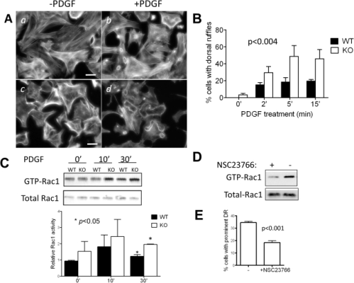 PDGF induces prominent dorsal ruffles in MIM−/− MEFs.(A) MIM+/+ (a and b) and MIM−/− (c and d) cells were arrested by incubating for 24 h in 0.2% serum-containing medium and then treated with PDGF for 10 min (b and d) followed by staining with phalloidin. The stained cells were inspected by epifluorescent microscopy. Scale bar: 50 µm. (B) Quantification of dorsal ruffles. Cells were treated with PDGF for the times as indicated. The number of cells showing large ruffling areas was counted. The data shown are the mean ± SEM based on four independent experiments. In each experiment 70 cells were analyzed. The p value was calculated by Anova test, referring to the difference between MIM−/− and MIM+/+ MEFs during the response to PDGF. (C) PDGF treated cells were analyzed for Rac1 activation by pull-down assay followed by Western blot using anti-Rac1 antibody. The Rac1 activation was quantified based on three independent experiments. (D) Quiescent MIM−/− cells grown on fibronectin-coated coverslips were treated with and without Rac1 inhibitor NSC23766 at the concentration of 50 µM for 48 h. The treated cells were then stimulated with PDGF for 10 min, and the Rac1 activation was measured as above. (E) NSC23766 treated cells were also treated with PDGF, and the formation of dorsal ruffles (DR) was quantified based on three independent experiments.