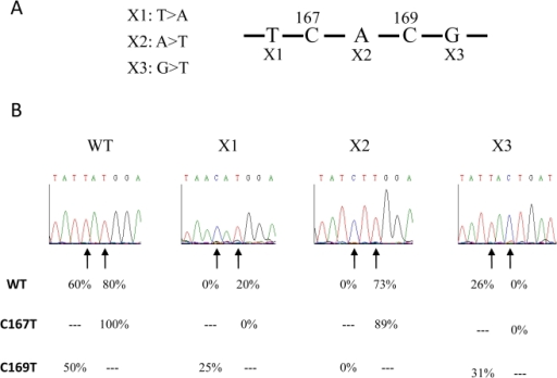 Editing of mutants of overlapping C167 and C169 sites.(A) Sequence encompassing sites C167 and C169. ×1 and ×2 represent the −1 and the +1 mutations of the site C167 respectively. ×2 is also the −1 mutant of site C169. ×3 represents the +1 mutation of the site C169. (B) Chromatopherograms of the sequences surrounding the sites C167 and C169 from different constructs. Arrows indicate the C167 (left) and C169 (right) editing sites. The editing efficiency in wild type and mutant transcripts is indicated below the chromatopherogram. C167T and C169T indicate the presence of a residue T at the place of the editing target C167 and C169 respectively. At least 16 independent RT-PCR clones were sequenced for each construct.