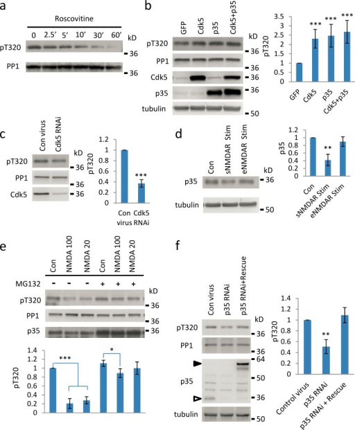 Cdk5 inhibition results in NMDAR-induced PP1 dephosphorylation. (a) Cultured cortical neurons (∼DIV21) were treated with 50 µM roscovitine for different times before proteins were harvested, run on SDS-PAGE, and analyzed by blotting with pT320 and PP1 antibodies. (b) Cultured neurons were infected with recombinant Sindbis viruses encoding GFP, GFP-Cdk5, GFP-P35 or GFP-Cdk5, and GFP-P35 (co-infection). 1 d after infection, the total neuronal lysates were run on SDS-PAGE and analyzed by blotting with pT320, PP1, Cdk5, P35, and tubulin (loading control) antibodies. (c) Cultured cortical neurons were infected with recombinant lentiviruses encoding ShRNA against Cdk5 (Cdk5 RNAi) or scrambled ShRNA (Con). 5 d later, the total lysates were run on SDS-PAGE and analyzed by blotting with pT320, PP1, and Cdk5 antibodies. Bar graph represents three independent experiments. (d) Cultured cortical neurons were subjected to synaptic (sNMDAR) or extrasynaptic (eNMDAR) NMDA receptor activation (see Materials and methods; same as in Fig. 1 f). Total neuronal lysates were run on SDS-PAGE and analyzed by blotting with p35 and tubulin (loading control) antibodies. (e) Cultured cortical neurons were treated without (Con) or with NMDA (20 or 100 µM) for 10 min with MG132 pre-applied for more than 1 h. Total neuronal lysates were run on SDS-PAGE and analyzed by blotting with pT320, PP1, and P35 antibodies. Bar graph represents three independent experiments. (f) Cultured cortical neurons were infected with recombinant lentiviruses encoding ShRNA against p35 (p35 RNAi), scrambled ShRNA (Con), or recombinant lentiviruses encoding p35 RNAi and RNAi-resistant recombinant p35 (p35 RNAi + rescue). 6 d later, the total lysates were run on SDS-PAGE and analyzed by blotting with pT320, PP1, p35, and tubulin antibodies. Bar graph represents three independent experiments. Solid arrow, RNAi-resistant recombinant p35; hollow arrow, endogenous p35.