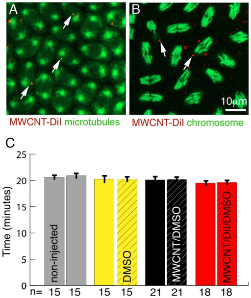 MWCNTs do not interfere with cell division.Ventral views; Anterior is up. Bar equals 10 µm in A, B. (A) Single live confocal section through the syncytial blastoderm during a division wave. Microtubules are labelled with GFP (green, Jupiter-GFP). All nuclei are in the same stage (metaphase) of the cell cycle even if MWCNTs (red, arrows) are present. (B) Single live confocal section through an embryo with YFP labelled histones marking chromosomes (green). Regardless of the presence or absence of MWCNTs (red, arrows), all nuclei are in the same stage of division (anaphase). (C) The rate of nuclear divisions is not affected by the presence of MWCNTs. Division times for three nuclei per embryo half were recorded and division times between non-injected (non-hatched) and injected (hatched) halves compared. For non-injected embryos (grey) division times of three randomly chosen nuclei for each half were recorded. We detect no differences in the division times between non-injected and injected halves nor between embryos injected with 10% DMSO (yellow, solvent control), 1 mg/ml MWCNT in 10% DMSO/water (black, MWCNT/DMSO) and 1 mg/ml MWCNT in 10% DMSO labelled with DiI (red, MWCNT/DiI/DMSO). Y-axis, division time in minutes; X-axis, Number of nuclei analysed (n).