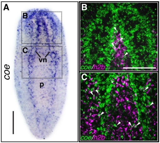coe is expressed in the nervous system and a subset of cycling stem cells.(A) In situ hybridization to coe in S. mediterranea (vn, ventral nerve cords; p, pharynx). Dashed boxes show regions imaged in B–C (N≥10). (B–C) Double-fluorescent in situ hybridization to coe and h2b. Arrowheads mark examples of double-labeled cells (N = 14). Anterior is up in all panels. Scale bars, A = 200 µm, B = 100 µm.