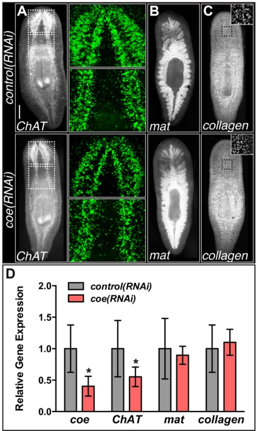 coe RNAi strongly inhibits the expression of ChAT in intact planarians.(A–C) coe RNAi-treated animals were processed for fluorescent in situ hybridization (FISH) to ChAT (N = 10 for each treatment), mat (N = 3 control and 4 RNAi planarians), or collagen (N = 7 control and 5 RNAi). White dashed boxes in A denote regions imaged at higher magnification shown in the panels to the right. Black dashed boxes in C denote regions imaged at higher magnification shown in top right insets. (D) RT-qPCR experiments measuring the relative expression of coe, ChAT, mat, or collagen in control(RNAi) or coe(RNAi) planarians following the 6th RNAi treatment. Graph shows the mean ± s.d. expression levels relative to the controls. *P<0.05, Student's t-test.