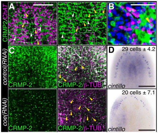 COE function is required for maintenance of nervous system architecture in uninjured planarians.(A) Head or tail images from an animal stained with anti-CRMP-2 and processed for FISH to ChAT. CRMP-2 is expressed in axon projections (white arrows) and neuronal cell bodies (yellow arrows; N = 7). (B) Higher magnification image of region denoted by white box in D shows CRMP-2 is detected in ChAT+ cell bodies (arrowhead). Nuclei were stained with DAPI (blue). (C–D) Uninjured control and coe(RNAi) planarians labeled with anti-CRMP-2 and anti-β-TUBULIN or processed for in situ hybridization to cintillo. White and yellow arrows point to axon projections and cell bodies, respectively. N = 8 animals for each treatment; 412 and 290 cintillo+ cells were counted from control and coe(RNAi) animals, respectively. The number in the top right corner indicates the mean ± s.d. of cintillo+ cells; *P<0.05, Student's t-test. Anterior is up in all panels. Scale bars, A = 200 µm, D = 100 µm, E = 50 µm, and G = 200 µm.