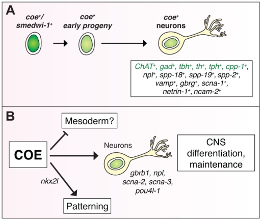 COE function is required for differentiation and maintenance of diverse neuron types.(A) coe is expressed in lineage-committed neoblasts (smedwi+) and early progeny [24], and diverse neuron types, including cholinergic (ChAT), GABAergic (gad), octopaminergic (tbh), dopaminergic (th), serotonergic (tph), and neuropeptidergic (cpp-1, npl, spp-18, spp-19, spp-2) neurons. Genes in green were identified in [24]. (B) To gain insights into how loss of COE function contributes to defects in nervous system differentiation, we analyzed the function of genes that were downregulated in coe(RNAi) animals. These analyses identified additional genes required for CNS regeneration (gbrb1, npl, scna-2, scna-3, pou4l-1) and patterning (nkx2l). In coe(RNAi) animals, we also detected upregulated genes enriched for GO terms associated with muscle development (Table 1), suggesting that COE may also function to repress the expression of mesoderm-specific genes.