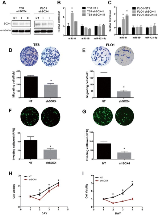 SOX4 knockdown suppresses migration, invasion and growth of invasive esophageal cancer cells. TE8 and FLO1 cells were transfected with non-targeting shRNA control or shSOX4. (A) SOX4 protein expression was analyzed by Western blotting. (B, C) miR-31 expression in response to SOX4 knockdown was measured by qRT-PCR, miR-191 and miR-423-5p were used as controls. miR-31, miR-191, miR-423-5p expression was normalized to RNU6. (D, E) Cell migration was measured using Boyden chamber transwell assays 24 hour post-transfection. (F, G) Invasion was measured by Marigel-coated transwell assays 24 hour post-transfection. (H, I) Cell viability was evaluated using the WST-1 assay. Results are means ± SD from at least three biological replicates.