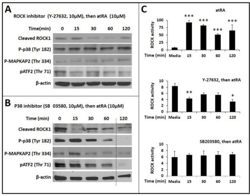 Both ROCK1 and p38α MAPK are required for atRA-mediated phosphorylation of ATF2 in IECs.A. Western blots show the effect of the ROCK inhibitor Y-27632 on the expression of cleaved ROCK1, phospho-p38, phospho-MAPKAPK2, and phospho-ATF2. Β-actin was used as the loading control. B. Effect of the p38 inhibitor SB203580 on the expression of cleaved ROCK1, phospho-p38, phospho-MAPKAPK2, and phospho-ATF2. Data represent 3 separate experiments. C. Bar-diagrams (means ± SE) summarize ROCK activity in IEC6 cells treated with atRA (10 μM, top panel), with Y-27632 (10 μM) followed by atRA (10 μM; middle panel), and SB203580 (10 μM) followed by atRA (10 μM; bottom panel). Data represent 3 separate experiments; * p<0.05, ** p<0.01, *** p<0.001.