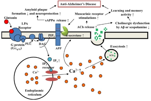 Schematic diagram of the involvement of the cholinergic system in gintonin-mediated anti-Alzheimer's disease (AD) through LPA receptor activation. In our previous report, we showed that gintonin attenuated amyloid plaque formation and ameliorated learning and memory dysfunctions (Hwang et al., 2012). In this study, we found that gintonin stimulates the cholinergic systems by acetylcholine release and the increase of ChAT expression and protective effects against acute Aβ-induced and long-term cholinergic dysfunctions in the transgenic AD animal model. Gintonin-mediated activation of LPA receptors could be coupled to anti-AD effects via dual actions of the non-amyloidogenic pathway and modulations of the cholinergic system in the brain according to the described pathways.