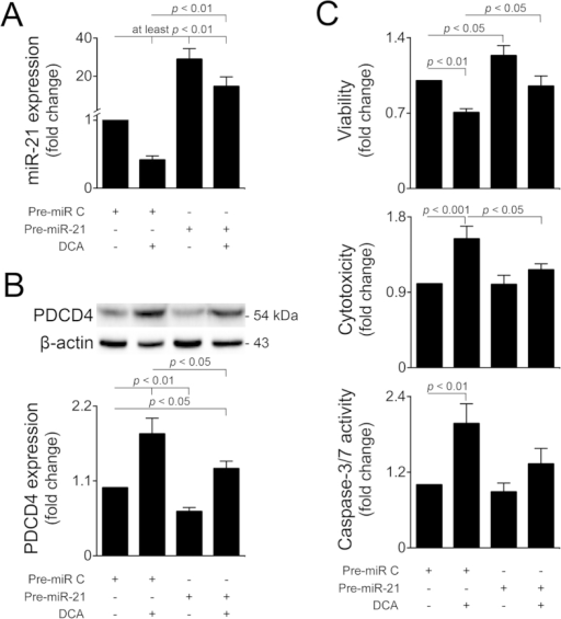 mir-21 overexpression counteracts DCA-induced apoptosis.Primary rat hepatocytes were transfected with a miR-21 precursor (Pre-miR-21) or control (Pre-miR-C) and treated with 100 μM DCA or no addition for 24 h. (A) Real-Time RT-PCR analysis of miR-21 expression (n = 7). (B) Immunoblotting of PDCD4 (n = 5). Representative blots are shown. Blots were normalized to endogenous β-actin. (C) Cell viability (top), cytotoxicity (middle) and caspase-3/7 activity (bottom) measured by the ApoToxGloTM Triplex assay (n = 5). Results are expressed as mean ± SEM fold change.