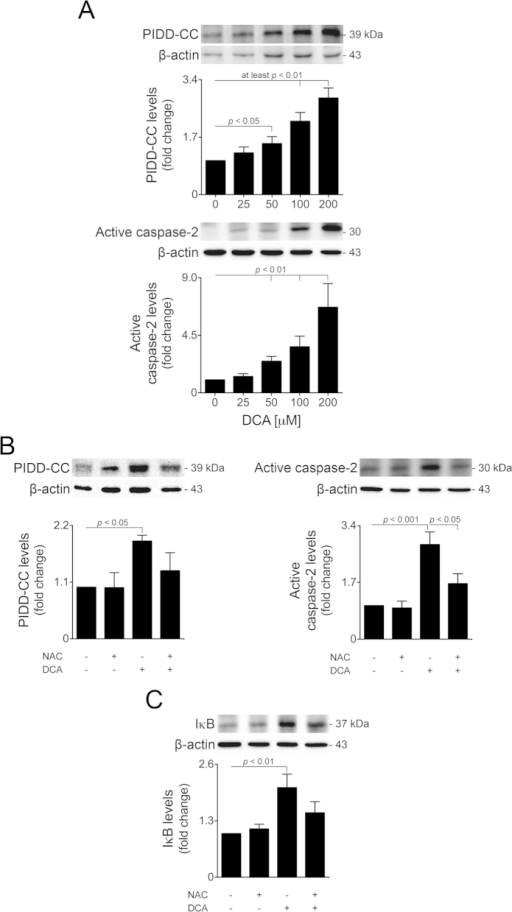 DCA-induced oxidative stress activates PIDD processing and caspase-2 in a dose-dependent manner.Primary rat hepatocytes were isolated as described in Materials and Methods and treated with 25 to 200 μM DCA or no addition (control) for 24 h. (A) Immunoblotting of PIDD-CC (top; n = 5) and active caspase-2 (bottom; n = 5). (B) Immunoblotting of PIDD-CC (left; n = 5) and active caspase-2 (right; n = 5). (C) Immunoblotting of IκB (n = 5). Cells were pre-treated with 5 mM NAC for 1 h and, when indicated, incubated with 100 μM DCA for 24 h. Representative blots are shown. Blots were normalized to endogenous β-actin. Results are expressed as mean ± SEM fold change.