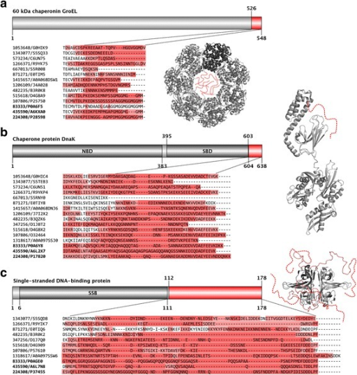 Conserved disorder in chaperones and hub proteins of minimal organisms. Domain maps, structures, sequence and disorder conservation are depicted for the three proteins (GroEL (a) DnaK (b) and SSB (c)) with conserved long disordered regions. On the grey domain maps, the residue boundaries of conserved disordered segments (in red) and known domains (in darker grey) are provided. The red regions of the domain maps complemented by a few residue positions around are also highlighted as Clustal Omega 1.2.2. multiple sequence alignments below the domain maps. The sequences of the minimal and reference organisms are identified by their Taxonomy/UniProt identifiers, and are depicted in the same order as in Table 1. In the alignments the background of the residues are colored according to the corresponding IUPred predictions; residues with a score >0.5 in darker red, while residues with a score between 0.5 and 0.4 in lighter red. The structures of the corresponding E. coli proteins (PDB: 2NWC for GroEL, 2KHO for DnaK and 1QVC for SSB) are also depicted in light grey with the conserved disordered segments marked by red or added as red dashed lines. In the heptameric GroEL and tetrameric SSB structures one chain is depicted by darker grey than the others