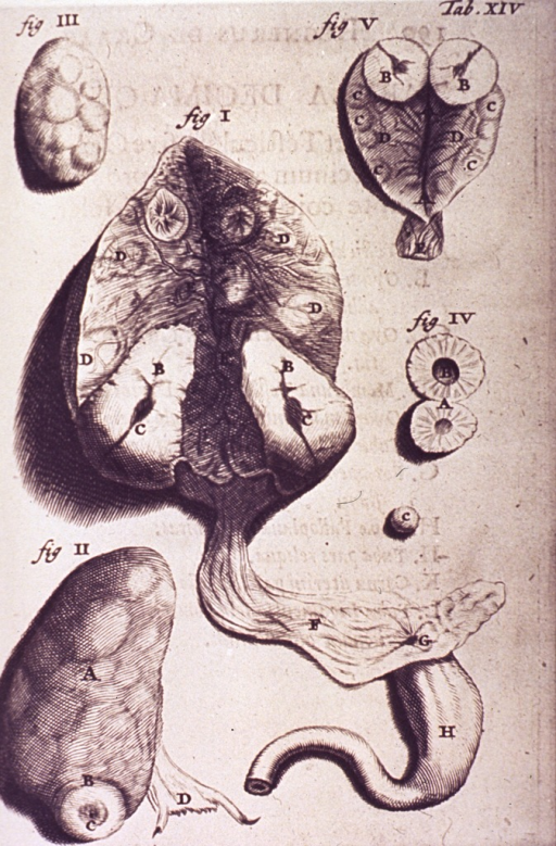 <p>Various views of the uterus, including whole and cross sectional.</p>