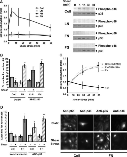 p38 inhibits shear stress–induced NF-κB activation on Coll. (A) BAE cells plated on Coll, LN, FN, or FG were sheared for the indicated times. Phosphorylation of p38 was assessed by Western blotting with phosphorylation site-specific antibodies, quantified by densitometry, and normalized to total p38. Values are means ± SD (n = 3). A representative Western blot is shown for each condition. (B) Cells were treated with the pharmacological p38 inhibitor SB202190 (1 μM for 1 h), and NF-κB nuclear translocation was assessed with or without shear stress for 30 min. Greater than 100 cells were counted per condition per experiment; n = 3; *, P < 0.05; **, P < 0.01. (C) Cells were preincubated with SB202190 and shear stress–induced p65 phosphorylation (Ser536) was assessed as previously described. Densitometric quantification was normalized to total p65. n = 3. (D) Cells were transiently transfected with dominant-negative p38 (p38-AGF) and sheared for 60 min, and p65 nuclear translocation was assessed. Transfected cells were identified by costaining for total p38. Greater than 100 cells were counted per condition per experiment; n = 3; *, P < 0.05. A representative stain is shown.