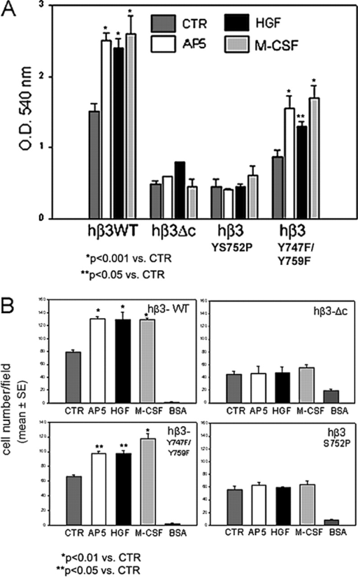 Pre-OC adhesion and migration require functional β3 cytoplasmic domain. (A) Adhesion assays to OPN were performed using β3−/− pre-OCs bearing the indicated β3 constructs. Adhesion to OPN is decreased threefold in cells carrying β3-ΔC or β3 S752P (CTR bars, dark gray) and is not affected by AP5 (light gray), HGF (black), or M-CSF (gray), which induce integrin activation. In contrast, the same factors increased adhesion of β3 WT– and β3 Y747F/Y759F–expressing cells by 40–50%. (B) Migration assay toward OPN was performed on the same cells as in A. Migration of untreated cells toward OPN (CTR, dark gray) is impaired in β3-ΔC and β3 S752P mutants. Moreover, AP5 (light gray), HGF (black), and M-CSF (gray) fail to rescue the directed mobility of these cells, whereas the same factors enhance the migratory capacity of β3 WT– and β3 Y747F/Y759F–expressing cells. *, P < 0.01 vs. CTR; **, P < 0.05 vs. CTR.