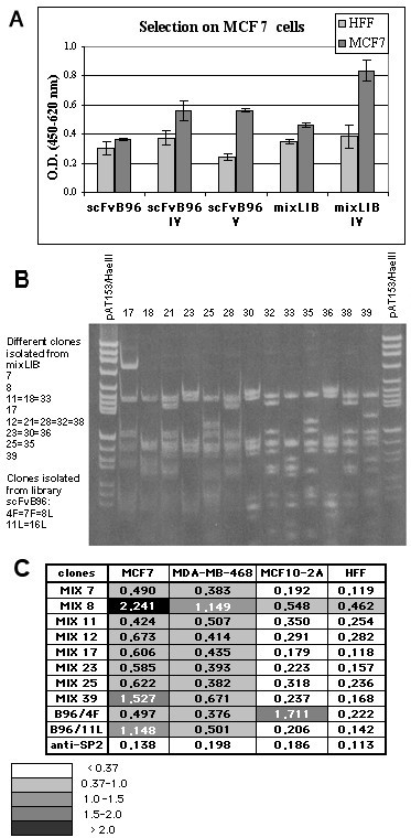 Selection of anti-MCF7 antibodies. (a) Reactivity of phage pools after fourth and fifth rounds of panning, in comparison with original libraries, was tested. Data reported are the average values of assays performed in triplicate. (b) Fingerprinting analysis of antibody clones. PCR-amplified scFv genes were analyzed by using HaeIII and AluI double digestion. The analysis of clones 17–39, selected from mixLIB, is shown at right, and the list of different anti-MCF7 antibodies obtained shown at left. (c) Cell ELISA reactivity of single phage clones. Data reported are the average values of assays performed in triplicate. Cells developing with irrelevant anti-SP2 antibody are included as negative control.