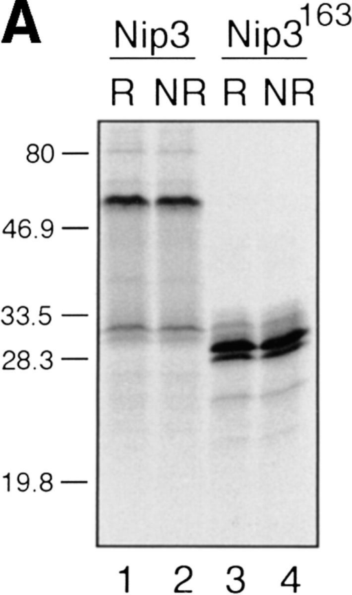 In vitro expression of Nip3 as a homodimer. (A) After in vitro transcription and translation of Nip3 the 35S-labeled protein was separated on  SDS-PAGE (lanes 1 and 2) under reducing (R, lane 1) and nonreducing (NR, lane 2) conditions. Nip3 runs as two bands at 60 and 30 kD. Nip3163 is a  truncated mutant in which the terminal 31 amino acids from 164 to 194 containing the putative transmembrane domain have been removed (lanes 3 and  4). The truncated Nip3163 is expressed as a major band at 29 kD and a minor band at 28 kD under both reducing (lane 3) and nonreducing (lane 4) conditions. (B) Comparative peptide mapping of in vitro translated 35S-labeled 60-kD Nip3 and 28-kD Nip3163 protein. After in vitro translation, Nip3 and  Nip3163 were immunoprecipitated, the 60- and 28-kD bands recovered after SDS-PAGE then trypsin digested. The resulting peptides were separated on  the same plate by electrophoresis at pH 1.9 (horizontal dimension with anode to the left), followed by ascending chromatography. The positions of the  origin of Nip3 and Nip3163 are marked by arrows. Three [35S]methionine-labeled peptides predicted from the trypsin digest are circled and labeled A, B,  and C (Nip3) and A′, B′, and C′ (Nip3163). Peptide A and A′, amino acids 1–45; B and B′, amino acids 140–146; C and C′, 147–152. All three peptides  are represented in both Nip3 and Nip3163. Minor spots are similar in the two proteins and likely are partially digested fragments. One of two experiments  with similar results is shown. (C) Yeast two-hybrid system identifies Nip3 homodimerization. (left) Plasmids encoding full-length Nip3 and the COOH-terminal truncated mutant Nip3163 fused to the GAL4 DNA-binding domain were cotransformed with plasmids encoding Nip3, Nip3163 or empty vector sequences fused to the GAL4 transcriptional activation domain. Protein–protein interactions were determined by growth of yeast in the absence of leucine,  tryptophan and histidine. (Right) Growth in the absence of leucine and tryptophan is shown as a control. The results are representative of 3 independent  experiments.