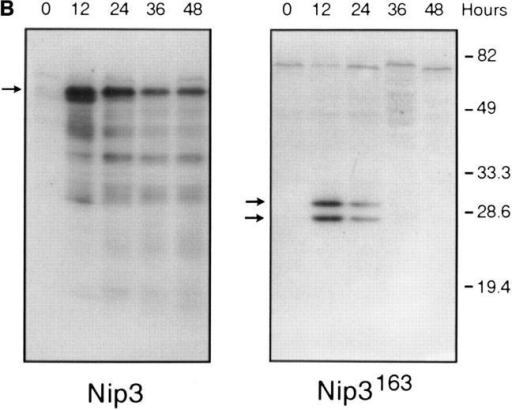 Overexpression of Nip3 but not Nip3163 induces apoptosis.  (A) Rat-1 or MCF-7 (left) cells were transfected with T7-tagged Nip3 then  at different times cells harvested and stained with anti-T7 antibody and  FITC anti–mouse IgG antibody to identify cells expressing Nip3. The  frequency of apoptotic cells was quantitated by Hoechst dye staining.  Rat-1 cells (right) were then transfected and apoptotic cells expressing (•)  and not expressing (○) Nip3 were quantitated. Rat-1 cells expressing (▾)  or not expressing (▿) Nip3163 were analysed in the same manner. At least  200 cells were counted in each sample. All assays were repeated three to  seven times with identical results. (B) Western blot of Rat-1 cells transfected with T7-Nip3 (left) or T7-Nip3163 (right). Cells were harvested at  the times indicated and Western blots developed with anti-T7 antibody.