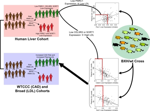 PSRC1, CELSR2, and SORT1 Liver Expression Is Associated with a CAD Risk Allele and Plasma LDL Cholesterol LevelsThe CAD risk allele for SNP rs599839 was established in a previous WTCCC study [16] (lilac panel). In the HLC, this same SNP is strongly associated with PSRC1, CELSR2, and SORT1 expression, with the CAD risk allele associated with lower relative expression (pink panel). In the BXH/wt cross designed to study metabolic traits that increase cardiovascular risk (green panel), all three of these expression traits were strongly correlated with plasma LDL cholesterol levels, a major CAD risk factor (scatter plots associated with the green panel). Given the association of these genes to plasma LDL-cholesterol levels, we examined whether rs599839 was associated with LDL cholesterol in a previously published GWAS [35] and found this SNP was significantly associated with LDL cholesterol levels, where the CAD risk allele was associated with higher LDL cholesterol levels in this cohort. Lower levels of CELSR2 and SORT1 expression were associated with the risk allele in humans, and with higher LDL cholesterol levels in mouse, making them ideal candidate susceptibility genes for the CAD and LDL cholesterol associations to this locus. On the other hand, lower levels of PSRC1 expression were associated with the risk allele in humans, but with lower LDL cholesterol levels in mouse, suggesting that PSRC1 is not the gene increasing CAD risk, but instead may be acting to protect against it.