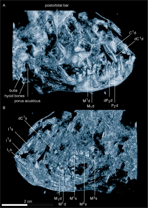 Micro-CT of the skull of Darwinius masillae, new genus and species.(A)— CT image of the skull in plate A, viewed from the right side. (B)— CT image of the skull in plate A, viewed from the left side. Note the presence of a postorbital bar, parts of the auditory bulla below the acoustic opening, and possible hyoid bones. Tooth homologies are mapped in greater detail in Figure 6 and sutures in S2.