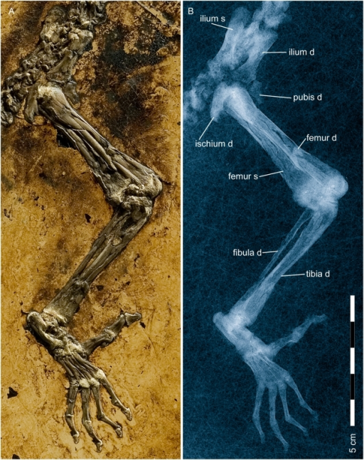 Pelvis and hind limb of Darwinius masillae, new genus and species.Photograph (A) and X-ray image (B) show the specimen preserved on plate A (Fig. 1). Note the large opposable hallux. Hind limb proportions are compared to those of other primates in see also Figure S5, and an explanatory drawing is provided in Figure 11.
