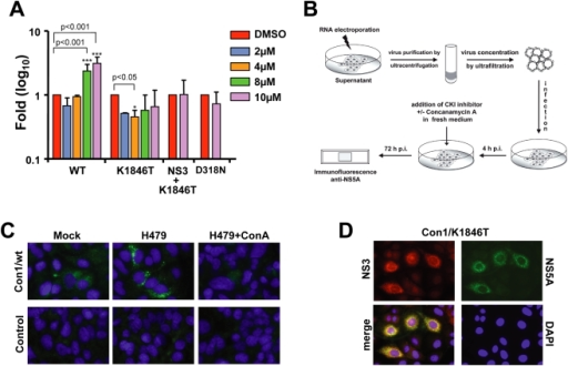 In vitro infectivity of Con1/wt particles released from transfected Huh7.5 cells.(A) Enhancement of HCV RNA replication by kinase inhibitor H479. Subgenomic Con1 luciferase replicons were transfected into Huh7.5 cells that were seeded into medium containing H479 at concentrations specified in the right. Cell lysates were prepared at 4 h and 48 h after transfection and luciferase activities were determined. The replication defective replicon Con1/D318N served as negative control. Cells treated with DMSO only were used as reference. For each construct, values were normalized to the luciferase activity of the respective DMSO control in order to determine the fold induction or reduction of replication. Data (mean±S.D.; n = 3) were analyzed using two-way ANOVA test. (B) Experimental approach used to detect in vitro infectivity of Con1 virus. (C) Immunofluorescence analysis of Huh7.5 cells 72 h after inoculation with supernatant from cells transfected with the Con1/wt genome (upper panels) or mock transfected cells (lower panels). Cells were treated either with DMSO only (Mock; left panels), or with H479 (middle panels) or with H479 and ConcanamycinA (right panels) as specified in panel (B). Cells were fixed 72 h after inoculation and NS5A was detected by immunofluorescence microscopy. (D) Detection of NS3 and NS5A expression in Huh7.5 cells inoculated with cell-free concentrated supernatant containing Con1/K1846T particles. Cells were fixed 48 h after inoculation and processed for indirect immunofluorescence. Nuclei were counterstained with DAPI.
