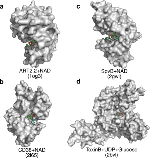 3D-structures of leukocyte ecto-enzymes and toxin enzymes with active site crevices targeted by sdAbs. a Murine T-cell ecto-ADP-ribosyltransferase ART2.2 with substrate NAD (pdb code 1og3). b Human lymphocyte ecto-NAD-glycohydrolase CD38 with substrate NAD (pdb code 2i65). cSalmonella enterica virulence protein SpvB, an actin ADP-ribosyltransferase, with NAD (pdb code 2gwl). dClostridium difficile toxin B, a rho glucosyltransferase (pdb code 2bvl). Images were generated with the PyMOL program [123]. We have already generated enzyme-blocking sdAbs against ART2.2 and SpvB from immunized llamas. Current work aims at generating similar antibodies against CD38 and Toxin B from immunized llamas and sharks