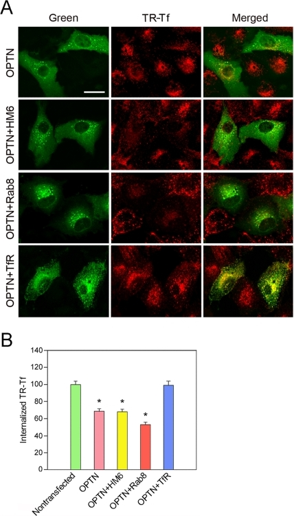 Rescue of Tf uptake by co-transfection with TfR but not with myosin VI and Rab8 constructs in RPE cells.(A) Fluorescent images of RPE cells. The cells transfected with pOPTNWT-GFP (OPTN) alone, or co-transfected with pOPTNWT-GFP and pMyoVI-EGFP (OPTN + HM6), pRab8Q67L-EGFP (OPTN + Rab8), or pTfR-EGFP (OPTN + TfR) were incubated with Texas Red-Tf (TR-Tf) for 15 min. The single or co-transfected cells are in green and the internalized TR-Tf is seen in red. The yellow staining in perinuclear regions (bottom panel, merged) indicated interaction and colocalization between the expressed TfR-GFP and the internalized TR-Tf. Scale bar, 20 µm. (B) Quantification of TR-Tf uptake in nontransfected and single- or co-transfected RPE cells. Note that co-transfection with myosin VI and Rab8 constructs had little effect, while co-expression of TfR restored the Tf uptake to the nontransfected control level in OPTNWT-GFP-expressing cells. Data are expressed as mean ± SD. Experiments are repeated at least three times, yielding similar results. *, P<0.001 compared to nontransfected cells.