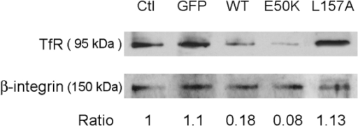Overexpression of wild type and E50K optineurin, but not L157A mutant, alters the surface TfR level in RPE cells.Cells were transfected to express GFP, as well as wild type (WT)-, E50K-, and L157A-optineurin-GFP. Surface TfR was detected by Western blotting with anti-TfR after surface protein biotinylation and isolation of biotinylated proteins. The level of surface TfR was normalized to that of a well known cell surface protein, β1-integrin. The ratios of TfR to β1-integrin are presented. Ctl, nontransfected control RPE cells.