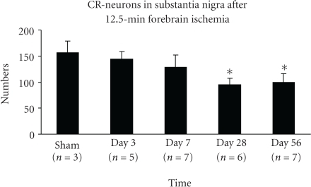 CR-ir neurons are decreased 4–8 weeks after 12.5 minutes of global ischemia (mean ± SD). The bar graph shows the numbers of CR-neurons in the entire SN at level 5.3 mm posterior to bregma are markedly reduced at days 28 and 56 (*indicates the significant difference compared to sham, day 3 and day 7; p < .01, ANOVA, post hoc Tukey HSD). No other significant differences were detected.