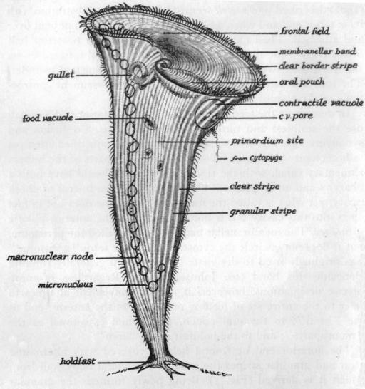 A descriptive diagram of Stentor coeruleus. All of the ...