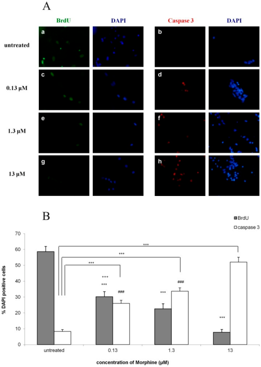 Morphine decreases proliferation of NPCs and induces the apoptotic enzyme active caspase-3 in a dose dependent manner.NPCs were exposed to increasing doses of morphine. This increase caused a decrease in the number of cells expressing BrdU and an increase in the number of apoptotic cells expressing active caspase-3 (1A). Bar graph showing, in a dose-dependent manner, the decrease in BrdU and increase in active caspase-3 expression in NPCs exposed to a single-dose of morphine (***p<0.001 different morphine doses vs. untreated in BrdU and caspase-3; ###p<0.001 0.13 µM and 1.3 µM vs. 13 µM in caspase-3; +++p<0.001 0.13 µM vs. 13 µM in BrdU) (1B).