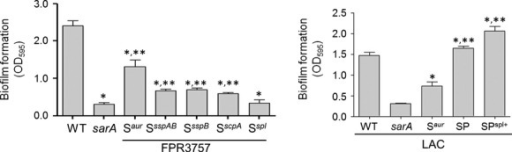 Impact of mutations in individual protease genes/operons on biofilm formation in vitro. The relative capacity to form a biofilm was assessed using a microtiter plate assay as previously described (Beenken et al. 2003) using FPR3757, its sarA mutant, and its sarA mutant carrying mutations in the indicated protease genes. Single asterisks indicate significance by comparison to the parent strain. Double asterisks indicate significance by comparison to the sarA mutant. As a control, biofilm formation was also assessed in LAC, its sarA mutant, and derivatives of the sarA mutant unable to produce aureolysin (Saur), unable to produce any extracellular protease (SP), or unable to produce any extracellular protease other than those encoded by the spl operon (SPspl+). Single asterisk indicates statistical significance by comparison to the sarA mutant. Double asterisks indicate significance by comparison to the Saur mutant.