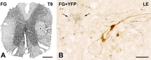 Spinal YFP-immunoreactive neurons do not project rostrally. (A) Transverse section single-stained to show FG-immunoreactivity at the center of an FG injection site (star) in thoracic segment T9. Peroxidase reaction product occurs throughout the spinal gray and white matter. Thus, it is highly likely that all axons passing through the injection site have taken up FG. Montage of 6 micrographs. Scale bar = 250 μm. (B) Two-color immunoperoxidase staining for FG (black) and YFP (brown). Four brown YFP-immunoreactive cell bodies in the lumbar enlargement (LE) lack black FG-immunoreactivity, indicating that they do not project rostrally through T9. In contrast, black puncta of FG-immunoreactivity are present in nearby cell bodies (arrows) and in black, varicose axons of undefined neurochemical phenotype. Montage of 3 micrographs. Scale bar = 50 μm. (For interpretation of the references to color in this figure legend, the reader is referred to the web version of this article.)