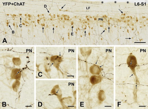 YFP-immunoreactive innervation of parasympathetic preganglionic neurons (PPN). Two-color immunoperoxidase staining for YFP (black) and ChAT (brown) in a horizontal section through the lumbosacral (L6-S1) spinal cord. (A) The sacral parasympathetic nucleus (PN) is sparsely innervated by black YFP-immunoreactive axons. Of the 133 PPN in A, black YFP-positive axon terminals closely appose only 29 of the brown ChAT-immunoreactive PPN, some of which are indicated by arrows. Arrows B-E mark neurons that are shown at higher magnification in B–E. Black, non-varicose YFP-immunoreactive axons run rostrocaudally through the white matter of the lateral funiculus (LF). Asterisks indicate the lateral edge of the spinal cord. Montage of 6 micrographs. Scale bar: 100 μm. (B–F) Brown ChAT-immunoreactive PPN receive close appositions (arrows) from black YFP-immunoreactive varicosities. Micrographs in montages: B, 4; C, 3; D and E, 2; F, 6. Scale bars: 10 μm. (For interpretation of the references to color in this figure legend, the reader is referred to the web version of this article.)
