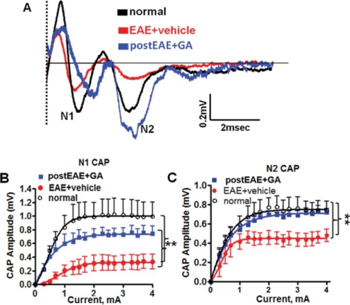 Therapeutic GA mitigates EAE-induced impairment in callosal conduction. A: Callosal lesions and demyelination during chronic EAE cause measurable conduction deficits. CAP responses were recorded on EAE post-immunization day 36 from coronal slices containing midline-crossing segments of the CC overlying the mid-dorsal hippocampus (Fig. 1A experiment). Typical CC CAP from normal (black), vehicle-treated EAE (red), and GA-treated EAE (blue) brains were evoked at a stimulus of 4 mA. N1 (fast conducting, myelinated component) and N2 (slow conducting, mostly non-myelinated component) CAP amplitudes decreased in the vehicle-treated EAE group. Treatment with GA during EAE brought CAP amplitudes closer to those of the normal group by improving the EAE-induced decreases in N1 and N2 CAP amplitudes. Dashed line represents CAP beyond the stimulus artifact. B,C: Quantification of N1 and N2 CAP amplitudes from brain slices of normal, vehicle-treated EAE, and GA-treated EAE groups was performed. CAP amplitudes at 2–4 mA current stimulation were compared. **P < 0.001, ANOVA, Bonferroni's multiple comparison post-test; n = 6 mice/group. [Color figure can be viewed in the online issue, which is available at http://wileyonlinelibrary.com.]