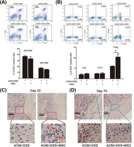 The effect of MSCs on the accumulation of CD4+CD25+FoxP3+Treg cells. (A) Flow cytometry analysis of the mean percentage of CD4+T cells and CD8+T cells in mesenteric lymph. (B) Flow cytometry analyzed the mean percentage of Th2, Th17 and Treg cells in mesenteric lymph. Values are expressed as means ± SEM. *P <0.05. Colons collected at day 33 (C) and day 70 (D) stained with Foxp3 examined by immunohistochemistry. MSCs, mesenchymal stem cells; SEM, standard error of the mean; Treg cells, regulatory T cells.