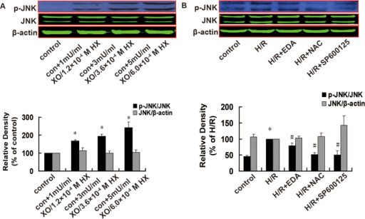 Effects of a ROS donor, ROS scavengers, and a JNK inhibitor on the levels of total and p-JNK expression in H9c2 cells, as assessed using western blotting.A. Effects of a ROS donor; n = 6. B. Effects of ROS scavengers and a JNK inhibitor. n = 4. Cropped blots show protein levels of p-JNK, total JNK and β-actin. The bands were excised from different gels which were run under the same electrophoresis condition. Data are expressed as percentages of the control or H/R groups. All values are presented as mean ± S.E.M. *P < 0.05 vs. control; #P < 0.05 vs. H/R.