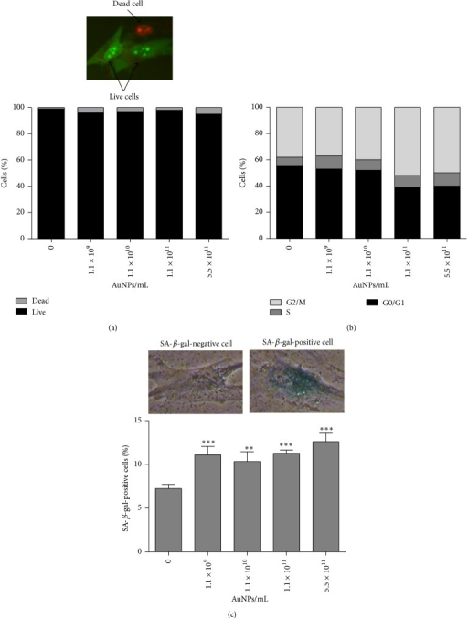 Nanogold-mediated cytotoxicity (a), changes in the cell cycle (b), and ability to induce stress-induced premature senescence (SIPS) (c). Human astrocytes were treated with 1.1 × 109–5.5 × 1011 AuNPs/mL for 96 h. (a) Cell viability was assessed using acridine orange-ethidium bromide staining. Arrows indicate live cells (green) and a dead cell (red). (b) Cell cycle analysis using an In Cell Analyzer 2000 (GE Healthcare, UK). (c) SIPS was assessed as SA-β-gal activity. The bars indicate the SD, n = 3, ∗∗∗P < 0.001, and ∗∗P < 0.01 compared with control (ANOVA and Dunnett's a posteriori test). Typical micrographs showing a SA-β-gal-positive cell and a SA-β-gal-negative cell are also presented.